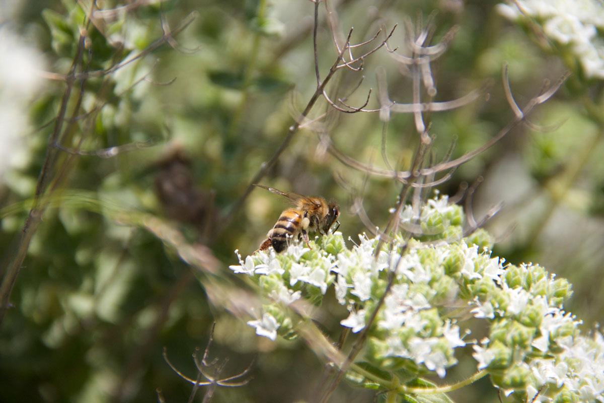 Bloomed oregano